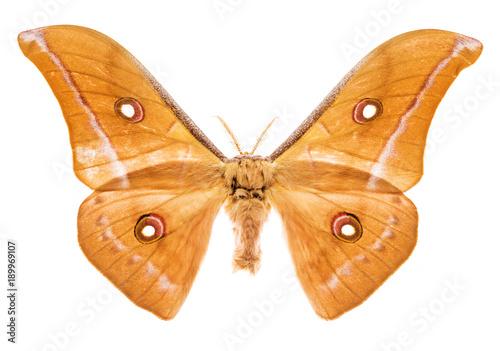 Fotobehang Fyle Antheraea godmani moth isolated on white