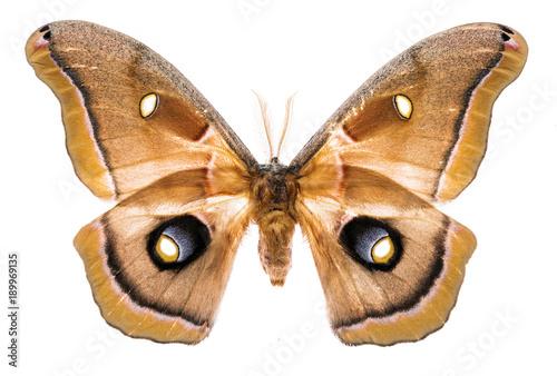 Fotobehang Fyle Antheraea polyphemus moth isolated on white