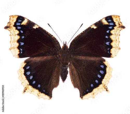 Aluminium Fyle Camberwell beauty butterfly isolated on white