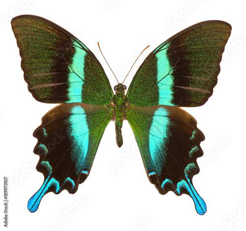 Aluminium Fyle Peacock swallowtail (Papilio Blumei) butterfly isolated