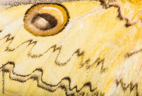 Fotobehang Fyle Loepa megacore moth wing background