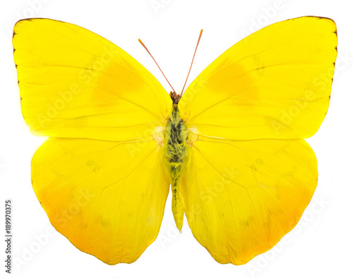 Aluminium Fyle Orange-barred sulphur (Phoebis philea) butterfly isolated on white