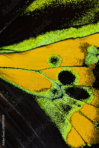 Fotobehang Fyle Rothschild's birdwing wing macro