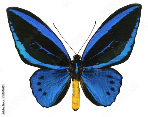 Aluminium Fyle Ornithoptera urvillianus tropical butterfly isolated