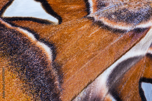Aluminium Fyle Attacus Atlas wing background