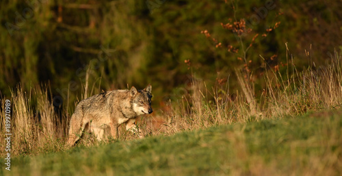 Aluminium Wolf Wolf im hohen Gras - canis lupus