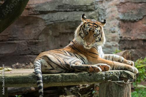 tygrys-sumatrzanski