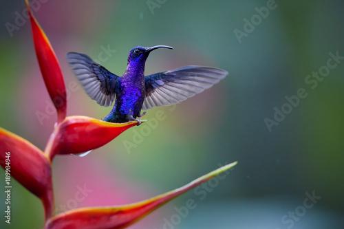 Błyskotliwy błękitny hummingbird, Campylopterus hemileucurus, Fiołkowy Sabrewing umieszczał na czerwonym heliconia kwiacie z szeroko rozpościerać skrzydłami przeciw abstrakcjonistycznemu, kolorowemu tropikalnemu tłu ,. La Paz. Kostaryka.