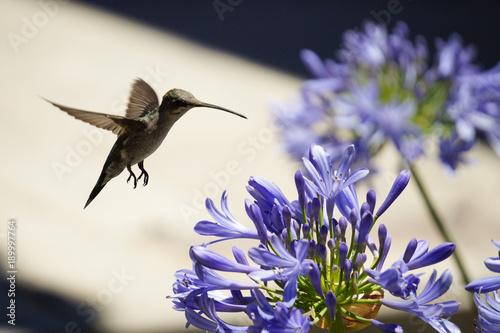 zwierzęta; ptaki; colibri