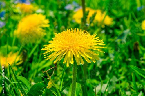 Blossoming dandelion close-up - macro - 190014973