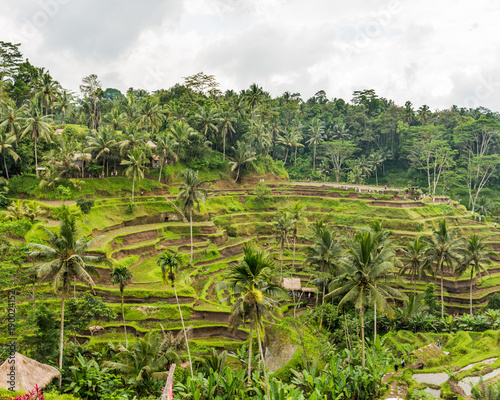 Foto op Plexiglas Pistache The Rice-fields In Ubud on the island of Bali In Indonesia