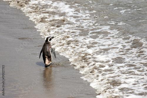 Fotobehang Antarctica Magellanic Penguin Walking Away, Waving Goodbye. Punta Tombo reserve, Argentina