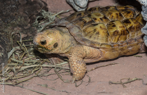 Fotobehang Schildpad baby african spurred tortoise crawls to safety