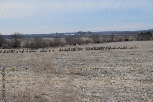 Fotobehang Grijs Geese in a Field