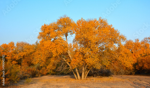 Foto op Plexiglas Oranje eclat Yellow-gold autumn tree in Kazakhstan. Good for website design, horizontal internet sliders and banners.
