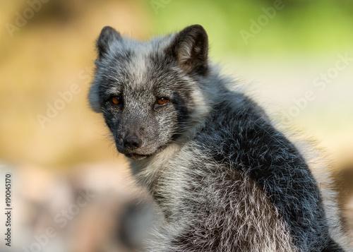 Foto Murales Polar Fox Animal