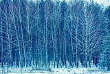 Birch grove in snowy winter. Winter landscape. Forest covered with snow - 190053731