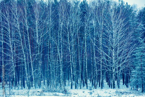 Birch grove in snowy winter. Winter landscape. Forest covered with snow