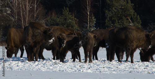 Aluminium Bison a herd of wild brown bison standing close together in the snow against the background of a winter forest on a sunny day