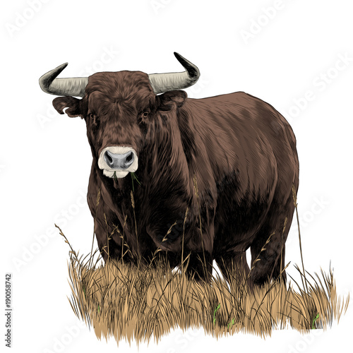 bull sketch vector graphics color picture