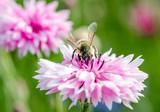 Blütenmeer, Frühlingserwachen, schöner Tag: Bunte Kornblumen :)
