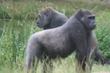 Gorille - 190077533