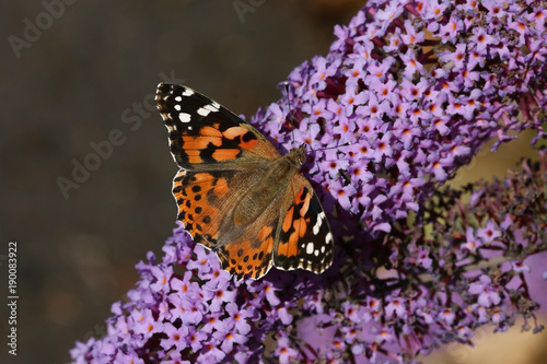 Fotobehang Vlinder Tortouiseshell butterfly feeding on the plentiful nectar of the Buddleia