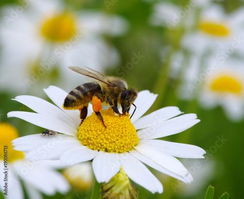 Sticker  bee with her pollen basket full