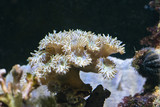 Anemone with plate-like tentacles. - 190097950