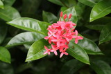 Pink tropical flower of Costa Rica - 190098320