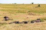 African buffalos lying on the savanna