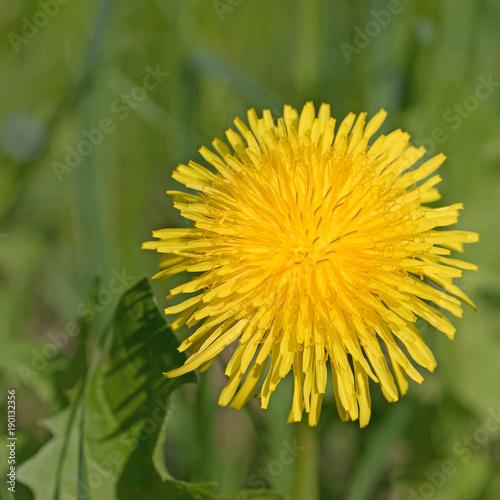 Löwenzahn, Taraxacum, Blüte