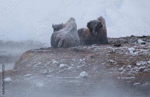 Fotobehang Bison Resting Plains Bison-9157