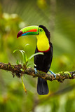 Portrait of Keel-billed Toucan (Ramphastus sulfuratus) perched on branch at Tropical Reserve. In Costa Rica. Wildlife bird - 190155799