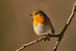 Robin perched on a tree - 190158357