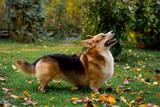 A fine dog of the Corgi breed - 190190158