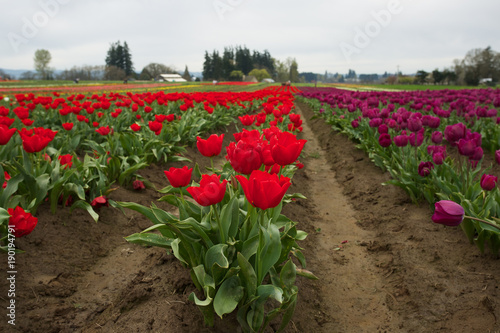Fotobehang Tulpen Beautiful Colorful tulip Farm in spring, Woodburn, Oregon.