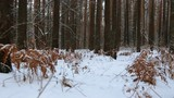 Moving through the winter pine forest - 190196724