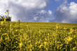Colza yellow field