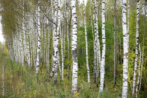 Papiers peints Bosquet de bouleaux birch forest in sunlight in the morning .