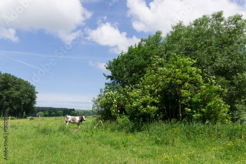 Fotobehang Brugge Lonely cow in the fields on a sunny day in Damme, Belgium