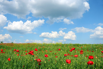 Poppies flower meadow and blue sky with clouds landscape