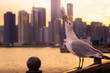Seagull enjoying the sunset from navy pier looking towards downtown Chicago