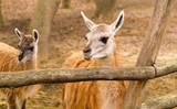 Portrait of a llama in a zoo - 190228703