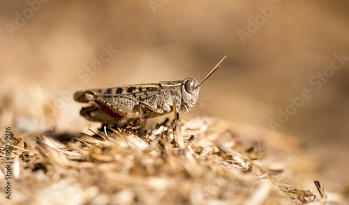 Foto op Aluminium Natuur Grasshopper sits on the ground in wildlife