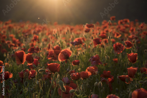 The remembrance poppy - poppy appeal.