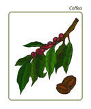 Coffea is a genus of flowering plants whose seeds, called coffee beans, are used to make various coffee products. Hand drawn botanical vector illustration