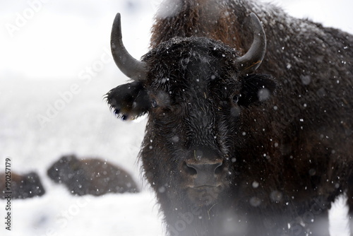 Fotobehang Bison ice cold bufallo, bufallo cow standing in the sbow, detail