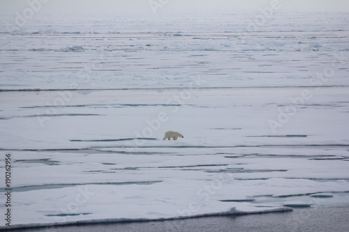 Fotobehang Ijsbeer Polar bear goes into the expanses of the Arctic ocean