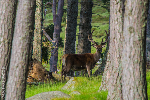 A Royal red stag staring straight into the camera at Loch Muick.